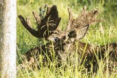 Moose. Big moose, in wild life, Montebello park in Outaouais, Quebec Canada Royalty Free Stock Photography