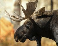 Broken antler moose. Moose with a broken antler showing us his handsome profile Grand Teton National Park, Wyoming, USA , Gros Ventre Campground royalty free stock photos