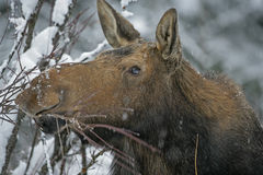 Moose browsing twigs in winter Royalty Free Stock Photos