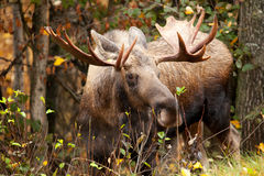 Moose Bull, Alaska, USA. Moose Bull with big antlers, Alaska, USA stock images