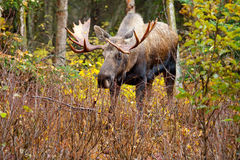 Moose Bull - Alaska, USA Royalty Free Stock Images