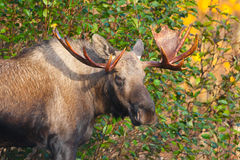 Moose Bull, Male, Alaska, USA Stock Photography