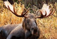 Moose Bull, Male, Alaska, USA Royalty Free Stock Photos
