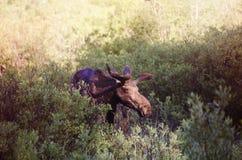 Moose. A bull moose near Park City, Utah stock images