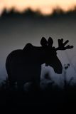 Moose bull at night royalty free stock photos