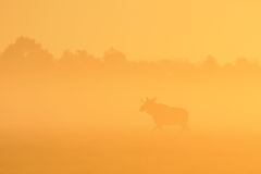 Moose bull in sunrise Stock Photos