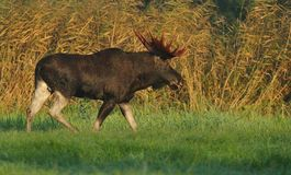 Moose bull walking Royalty Free Stock Photo