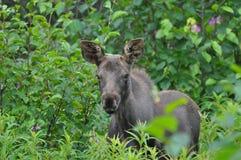 Moose calf Royalty Free Stock Image