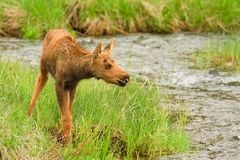 Moose Calf Stock Image