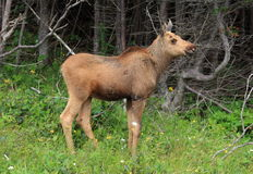 A Moose Calf Stock Photos