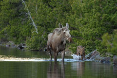 Moose and calf. Moose (Alces alces) walking in lake with calf. Glacier National Park, Montana Stock Image