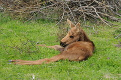Moose Calf. A young moose calf resting in a field Stock Photography