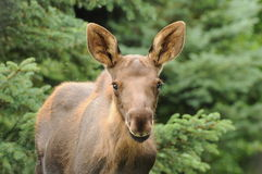 Moose Calf. A young moose calf close up of its face as it stands in a field Royalty Free Stock Photography