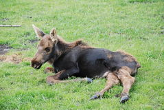 Moose Calf. A young moose calf that his winter fur is starting to grown in and he is loosing his baby fur Stock Photo