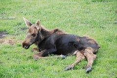 Moose Calf Stock Photo