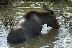 Moose calf. Enjoying the water on a hot summers day, escaping from all the flies! Dempster Highway,Yukon Stock Images