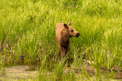 Moose Calf. Moose baby standing in pond on a sunny summer day Royalty Free Stock Images