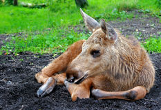 Moose calf (Alces alces). Young moose calf of the species Alces alces Royalty Free Stock Photography