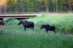 Moose and calf in the big horn national forest. Moose and calf in the big horns mountains stock photos