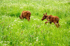 Moose calf Royalty Free Stock Images