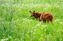 Moose calf Stock Images
