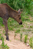Moose Calf Checks out Straw Stock Photo