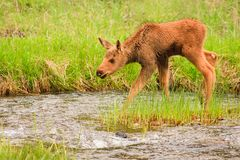Moose calf crossing stream Stock Photography