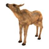 Moose Calf Stock Photography