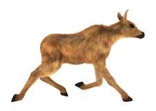 Moose Calf Royalty Free Stock Photo