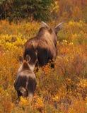 Moose. And calf, Denali national park, Alaska, USA Royalty Free Stock Photos