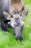 Moose calf eating on knees Royalty Free Stock Photos
