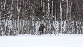 Moose calf feeding from birch trees in winter nature stock video footage