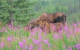 Moose & Calf Feeding on Fireweed Stock Photos