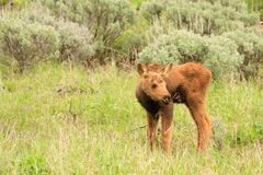 Moose Calf in Field of Sagebrush Royalty Free Stock Photography