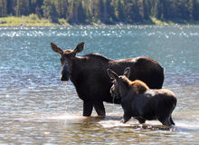 Moose and Calf at Glacier National Park Stock Photography