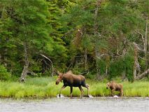 Moose and Calf Royalty Free Stock Image