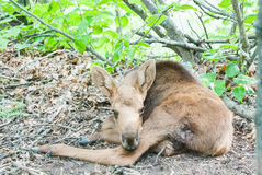 Moose Calf Stock Images