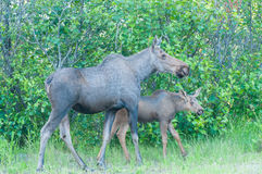 Moose Calf with Mom Royalty Free Stock Photo