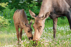 Moose Calf with Mom Royalty Free Stock Images