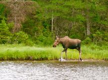 Moose and Calf Royalty Free Stock Images