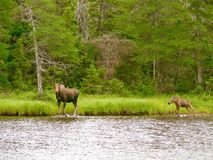 Moose and Calf Royalty Free Stock Photography