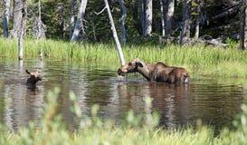 Moose and calf Royalty Free Stock Image