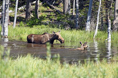 Moose and calf Royalty Free Stock Photo
