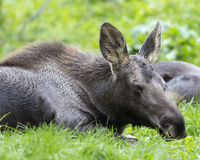 Moose calf Stock Photos