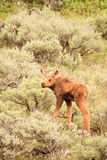 Moose Calf in Sagebrush. Young baby moose standing among tall sagebrush in Yellowstone Stock Photography