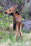 Moose Calf Royalty Free Stock Photography