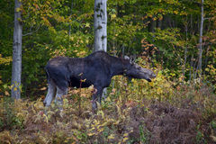 Moose Calf, Side View. Full side view of a moose calf munching leaves in the White Mountains of New Hampshire Stock Images