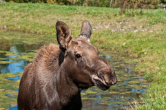 Moose calf on a sunny day Royalty Free Stock Images