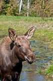 Moose calf on a sunny day Stock Photos