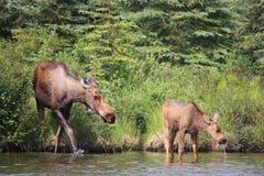 Moose and Calf Wonder Lake Stock Image